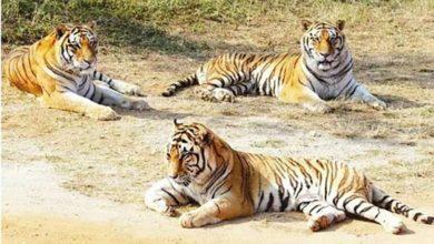 Photo of گجرات: شیروں پر وائرس حملے کا علاج کریں گے سفاری پارک کے ڈاکٹر