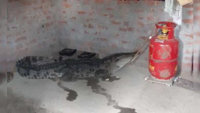 Photo of یوپی: ندیوں میں طغیانی، گھر میں گھسا مگرمچھ